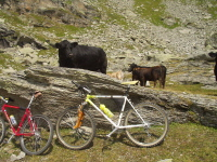 Mucche!